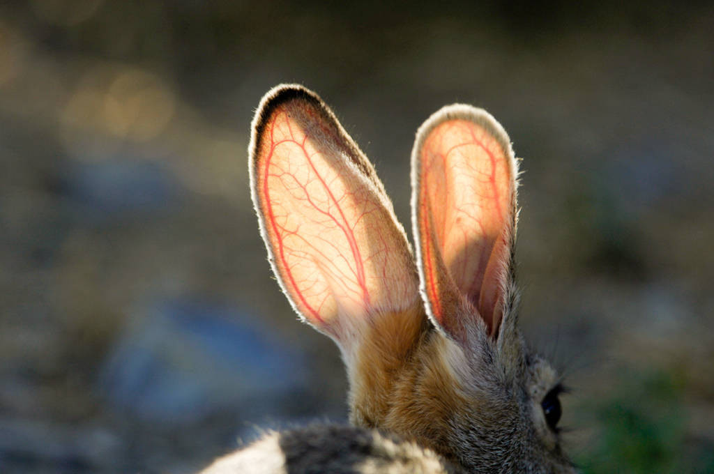 Photo: A cottontail rabbit in the late afternoon sun at Charles M.Russell National Wildlife Refuge.