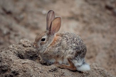 Photo: A desert cottontail rabbit at the Henry Doorly Zoo.