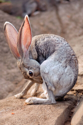 Photo: A black-tailed jackrabbit at the Henry Doorly Zoo.