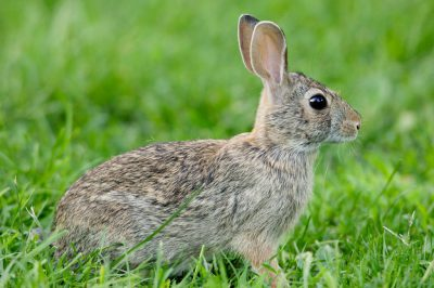 Photo: An Eastern cottontail rabbit feeds in a residential lawn.