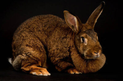 A red satin domestic rabbit, Oryctolagus cuniculus, at the Sedgwick County Zoo.