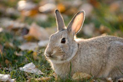 A cottontail rabbit (Sylvilagus floridanus) foraging for food.