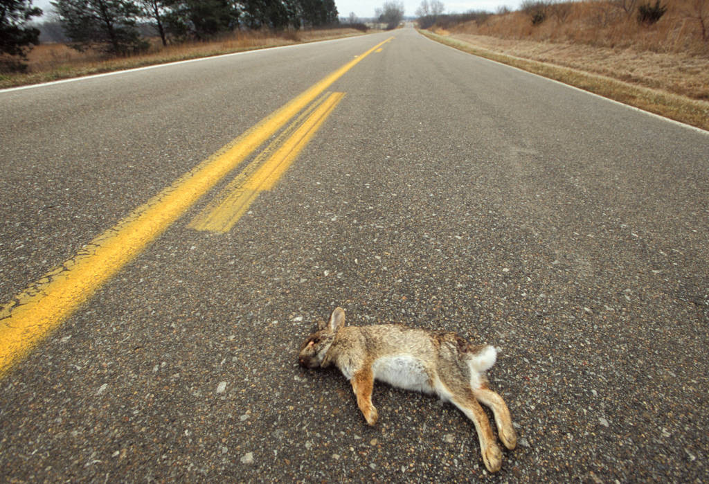 Photo: Eastern cottontail rabbit roadkill near Halsey, Nebraska.