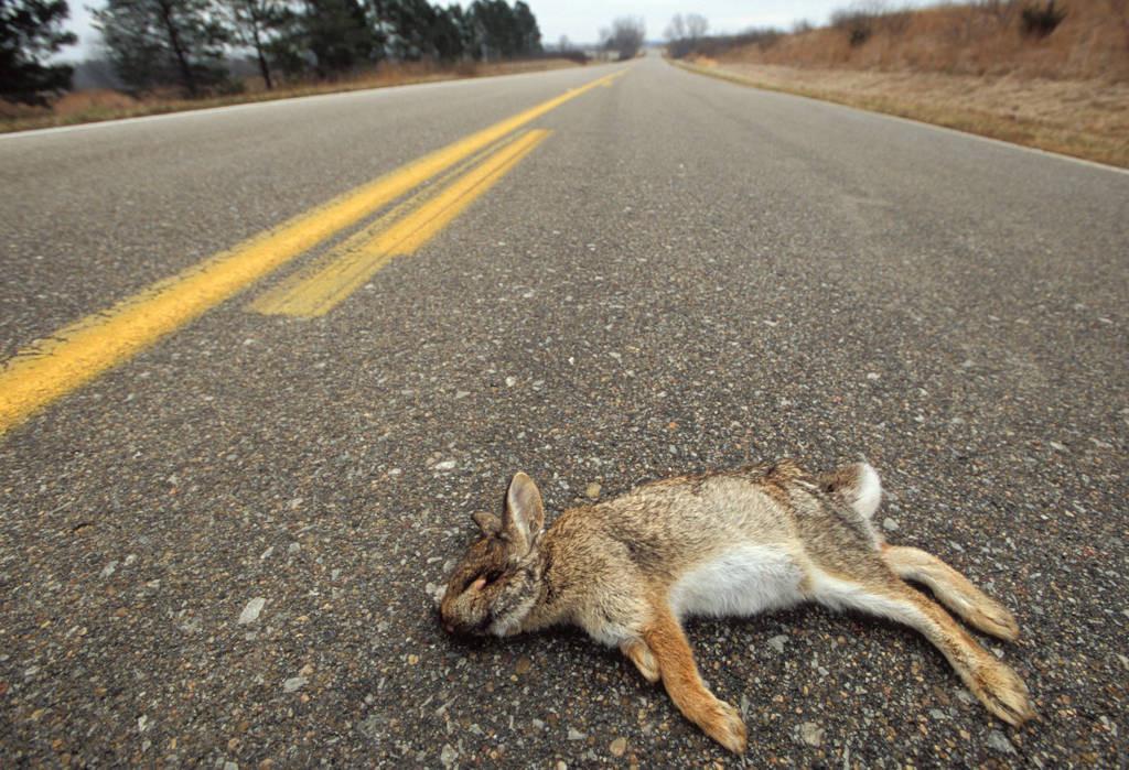 Photo: Eastern cottontail rabbit roadkill near Halsey, Nebraska.