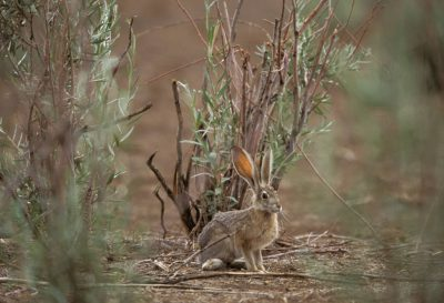 Photo: A jackrabbit in the Moab desert in Utah.
