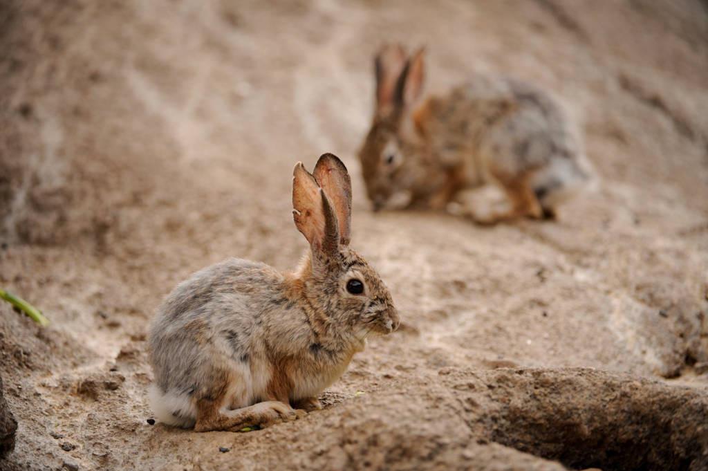 Desert cottontail rabbit (Sylvilagus audubonii) at the Omaha Zoo.
