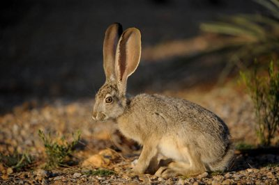 Photo: A black-tailed jackrabbit (Lepus californicus) near Las Vegas, NV.