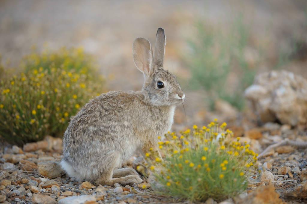 A desert cottontail rabbit (Sylvilagus audubonii) near Las Vegas, NV.