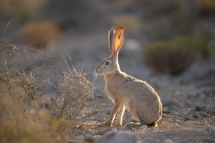 Photo: A black-tailed jackrabbit (Lepus californicus ) near Las Vegas, NV.