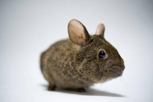 A volcano rabbit (Romerolagus diazi) at Chapultepec Zoo in Mexico City. (IUCN: Endangered)