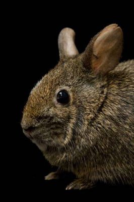 A volcano rabbit (Romerolagus diazi) at Chapultepec Zoo in Mexico City. (IUCN: Endangered)