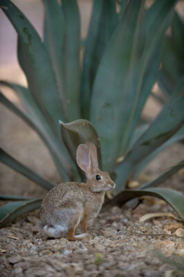 A desert cottontail rabbit (Sylvilagus audubonii) at the Fairmont Hotel, Scottsdale, Arizona.
