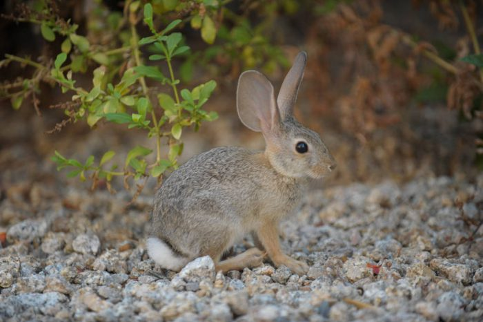A desert cottontail rabbit (Sylvilagus audubonii) at the Fairmont Hotel, Scottsdale, Arizona.