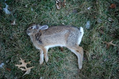 A dead eastern cottontail rabbit (Sylvilagus floridanus), most likely killed by a domestic housecat.