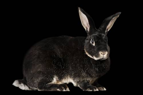 Photo: A rex rabbit (known for its soft fur and meat) at the Sunset Zoo in Manhattan, KS.