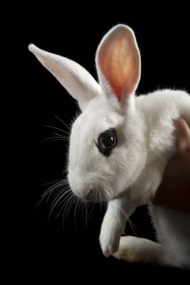 Photo: A Blanc de Hotot domestic rabbit at the Sedgwick County Zoo.