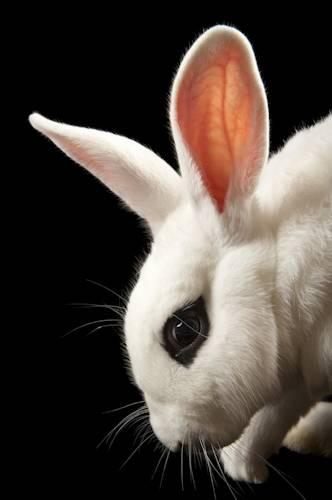 Photo: A Blanc de Hotot domestic rabbit at the Sedgwick County Zoo.