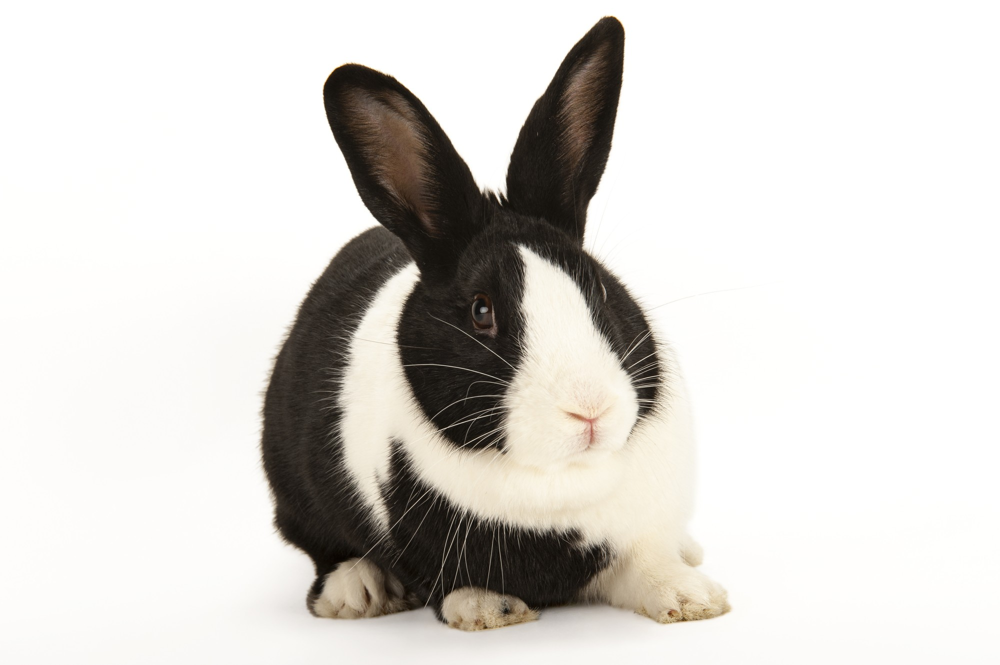 Photo: A domestic rabbit at the Capital Humane Society in Lincoln.