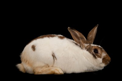 A rex rabbit (Oryctolagus cuniculus) that is up for adoption at the Capital Humane Society.