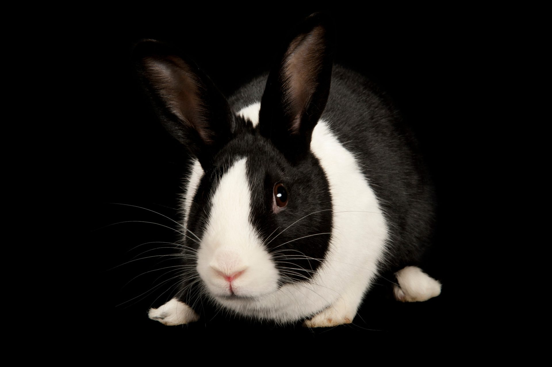 A domestic rabbit (Oryctolagus cuniculus) that is up for adoption at the Capital Humane Society.