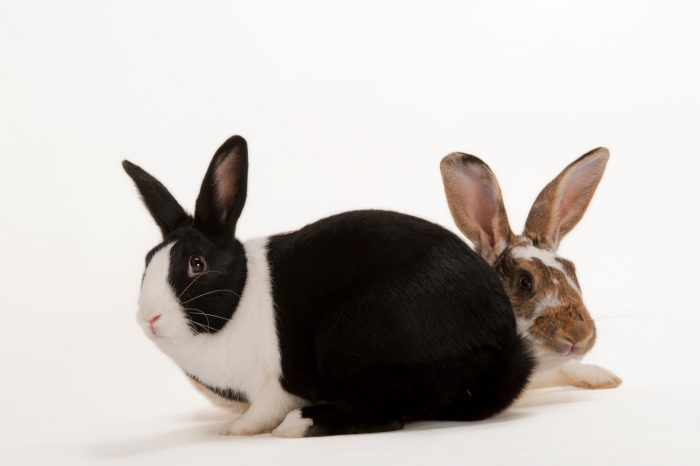 Domestic rabbits (Oryctolagus cuniculus) that are up for adoption at the Capital Humane Society.