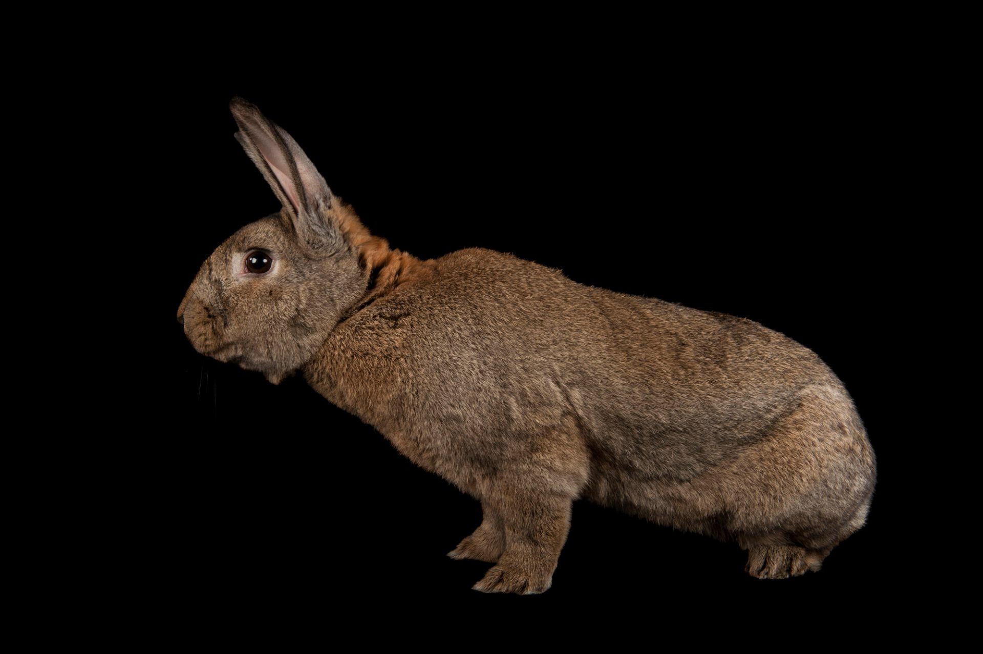 A giant Flemish rabbit (Oryctolagus cuniculus flemish) at the Fort Worth Zoo.