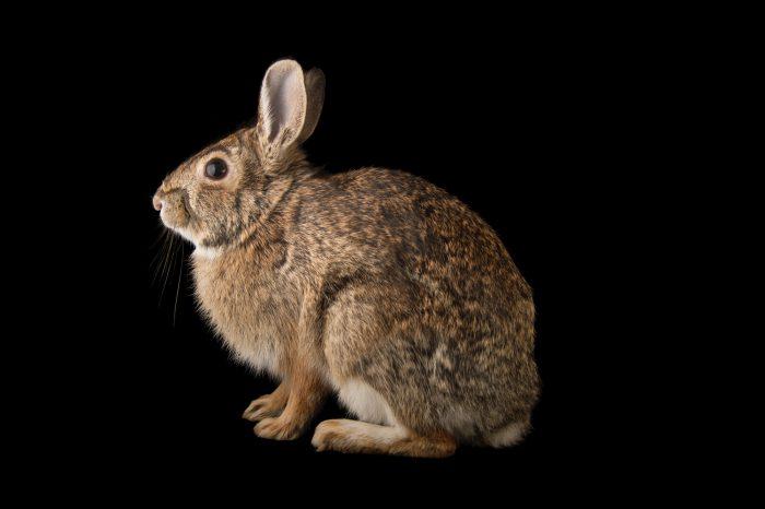 Mearn's eastern cottontail rabbit (Sylvilagus floridanus mearnsii) at Nebraska Wildlife Rehab in Louisville, Nebraska.