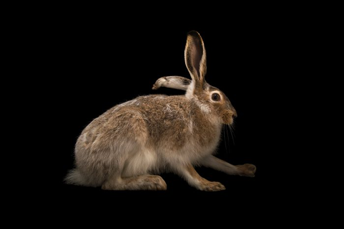 Picture of a white-tailed jackrabbit (Lepus townsendii) at the Wildlife Rehabilitation Center of Northern Utah.