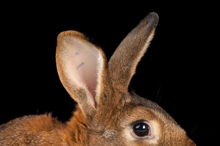 A red satin domestic rabbit (Oryctolagus cuniculus) at the Sedgwick County Zoo.