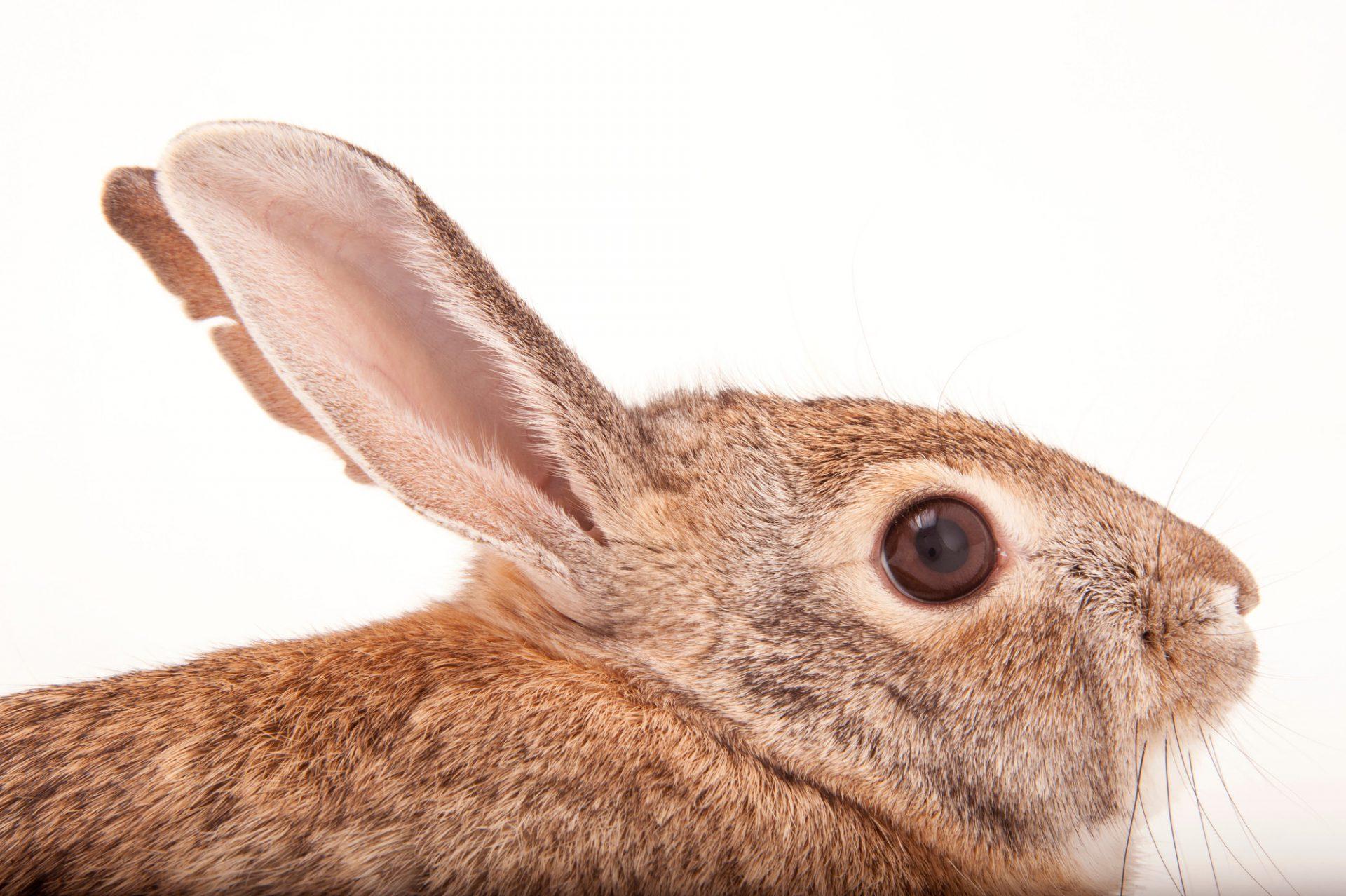 A desert cottontail rabbit (Sylvilagus audubonii) at the Omaha Henry Doorly Zoo and Aquarium.