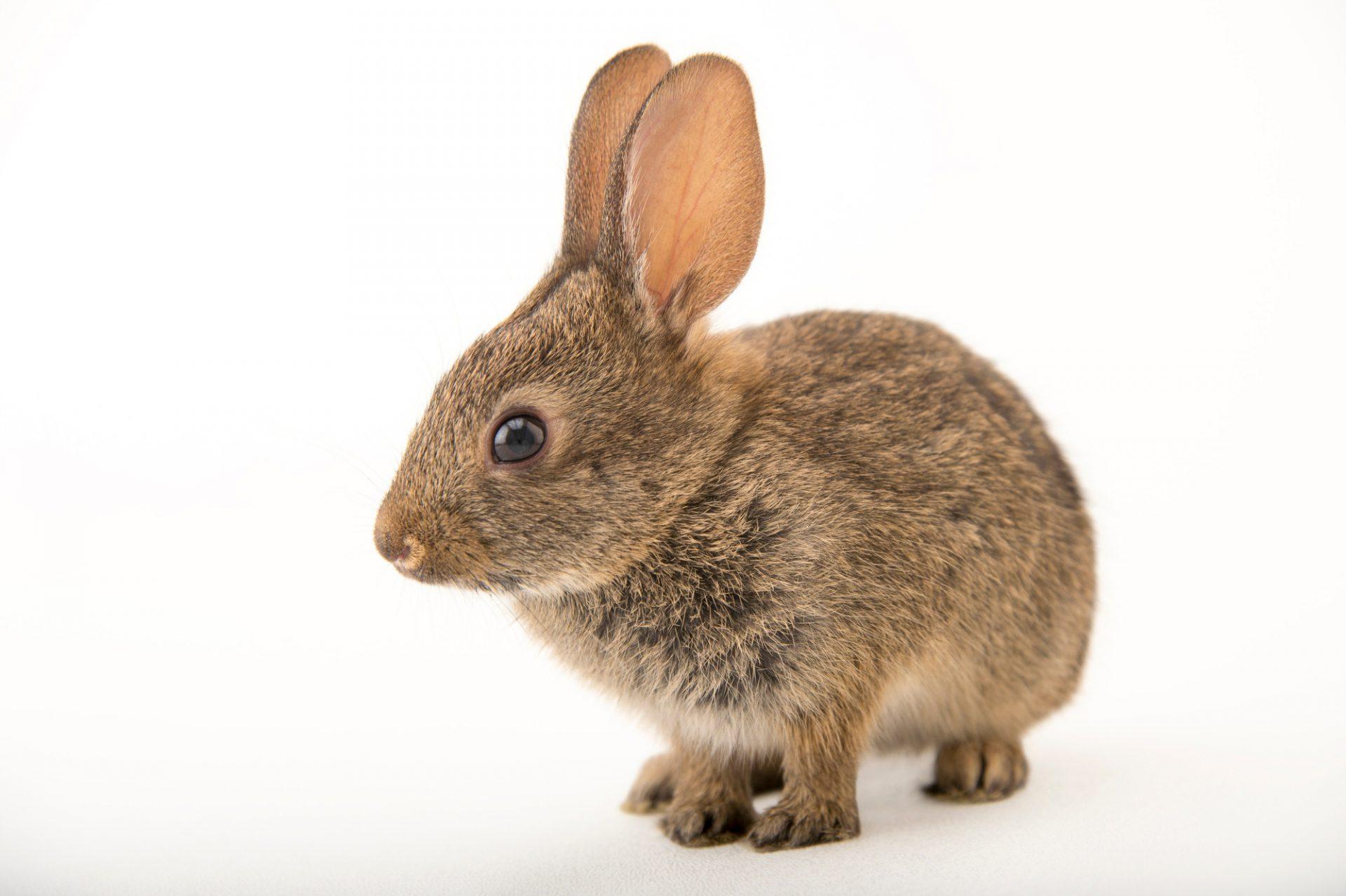 Picture of a juvenile western brush rabbit (Sylvilagus bachmani) at the Santa Barbara Wildlife Care Network.