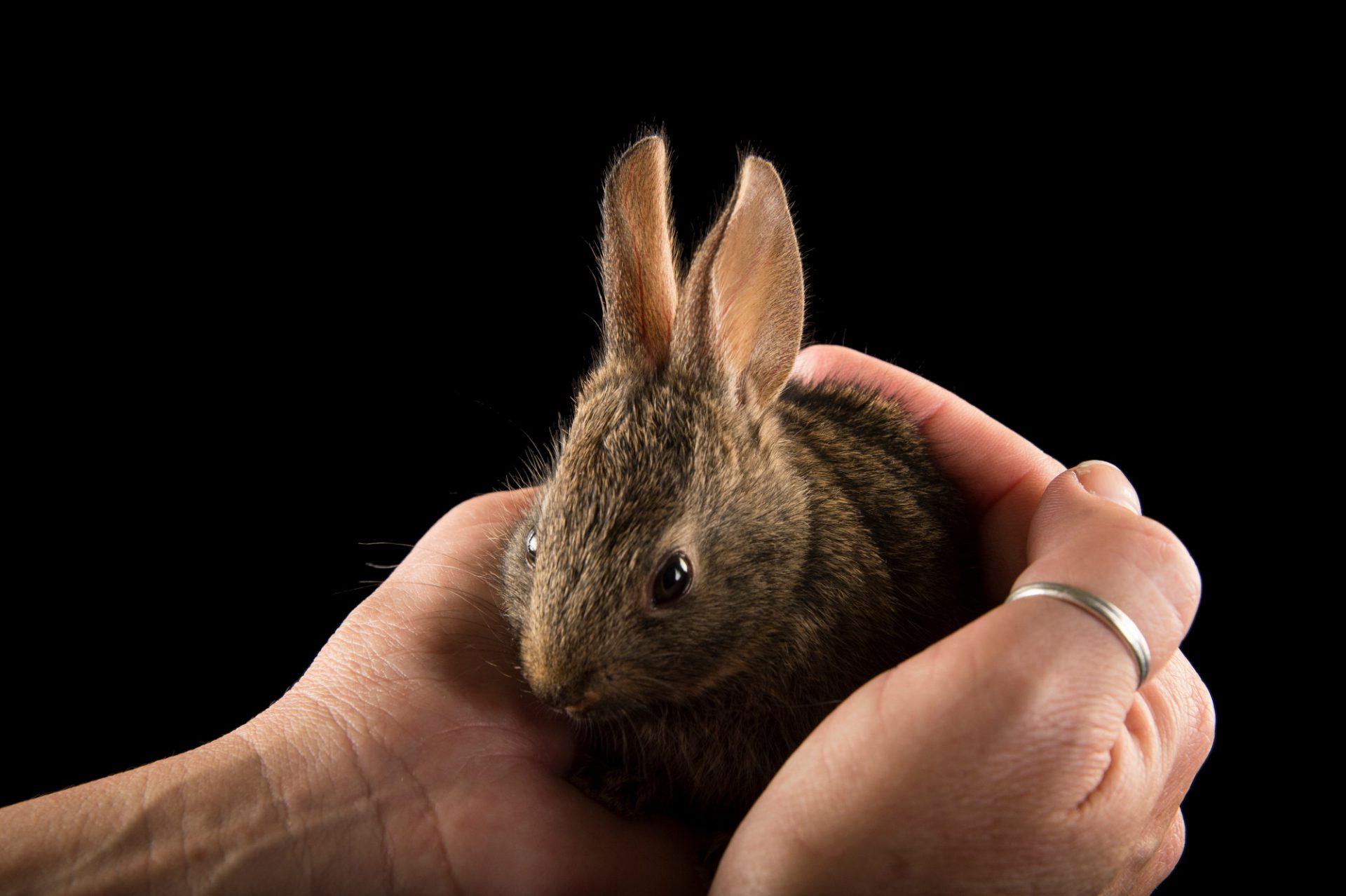 Picture of a juvenile western brush rabbit (Sylvilagus bachmani) from a private collection.