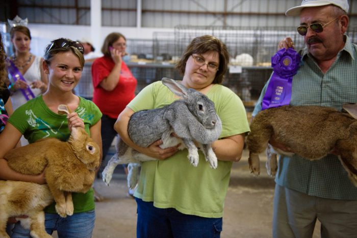 Photo: Flemish giant rabbits are held by their owners at the Iowa State Fair.