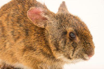 Photo: A Lower Keys marsh rabbit, Sylvilagus palustris hefneri, from the wild.