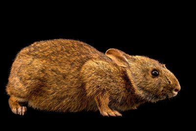 Photo: Sanibel Island marsh rabbit (Sylvilagus palustris paludicola) from Sanibel Island.