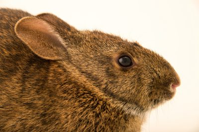 Photo: Sanibel Island marsh rabbit (Sylvilagus palustris paludicola) from Sanibel Island.