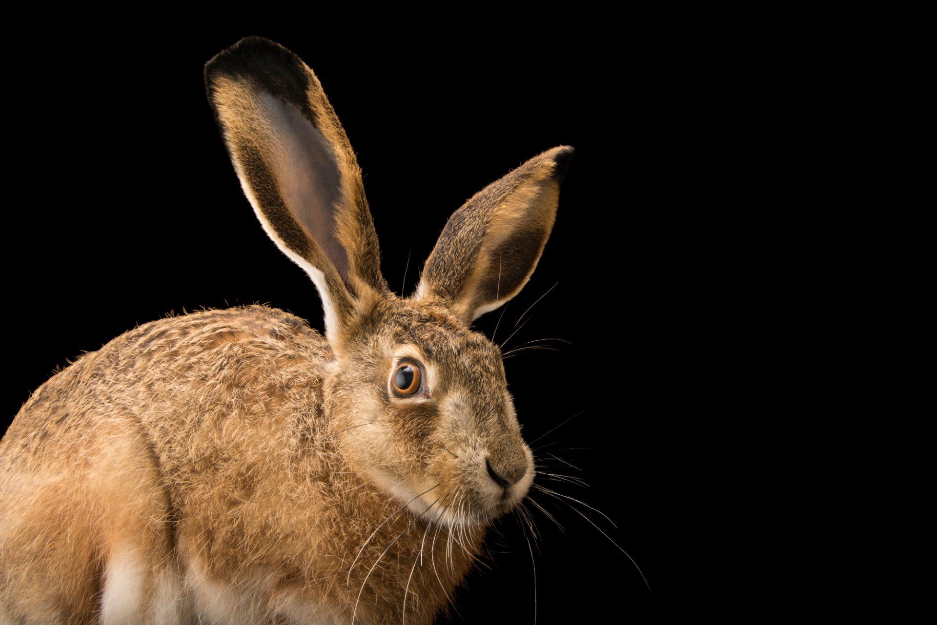 Photo: Iberian hare (Lepus granatensis granatensis) at the University of Porto in Portugal