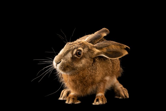 Photo: Iberian hare (Lepus granatensis granatensis) at the University of Porto in Portugal
