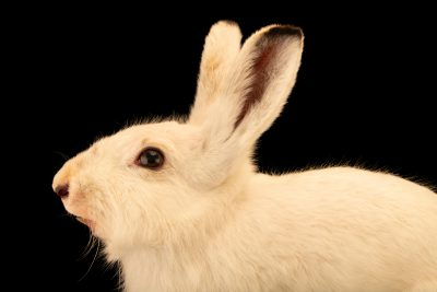 Photo: Mountain hare (Lepus timidus) at the Moscow Zoo.