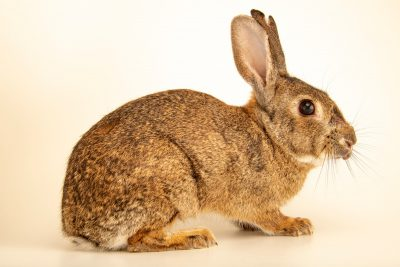 Photo: An adult Iberian wild rabbit (Oryctolagus cuniculus algirus) wild caught in Valpacos, Portugal.
