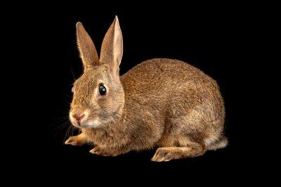 Photo: A juvenile Iberian wild rabbit (Oryctolagus cuniculus algirus) wild caught in Valpacos, Portugal.