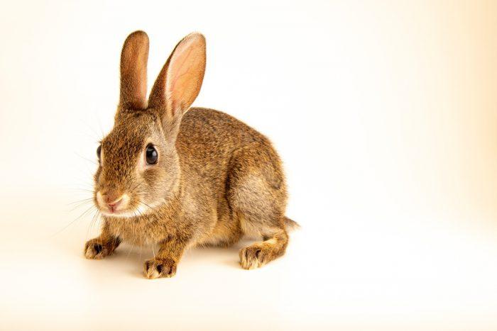 Photo: Juvenile Iberian wild rabbit (Oryctolagus cuniculus algirus) wild caught in Valpacos, Portugal.
