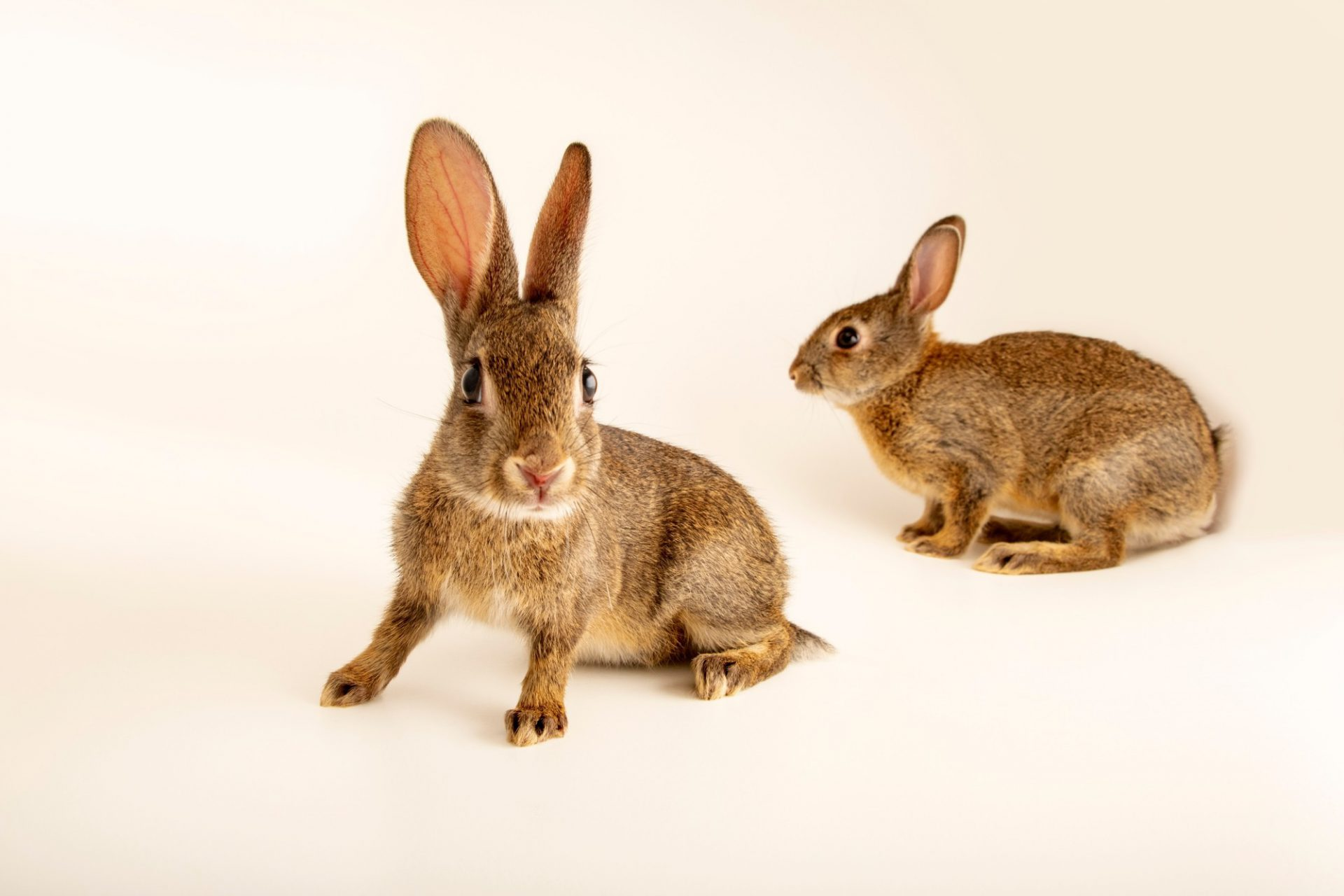 Photo: Juvenile Iberian wild rabbits (Oryctolagus cuniculus algirus) wild caught in Valpacos, Portugal.