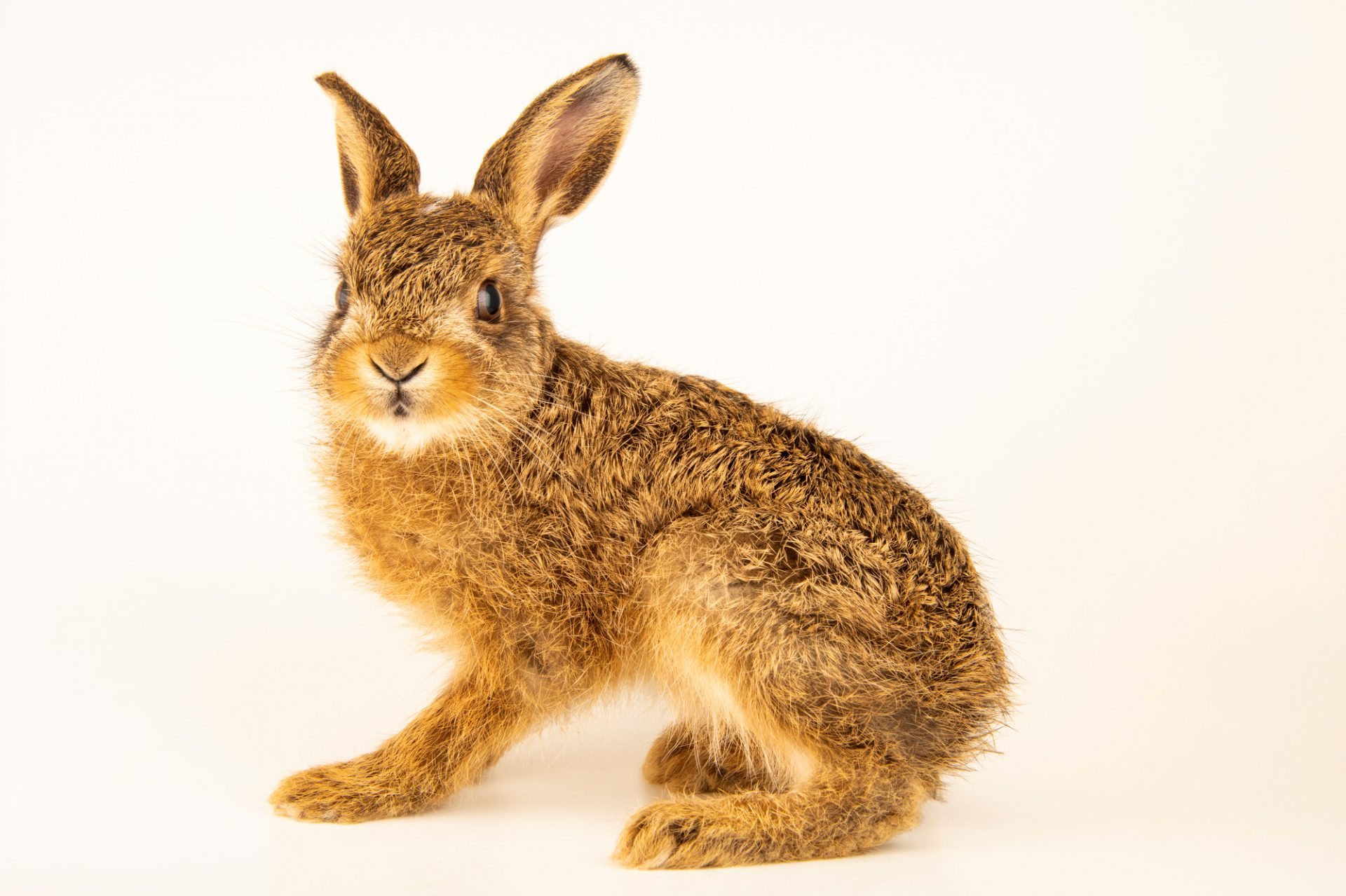 Photo: A brown hare (Lepus timidus scoticus) at Hessilhead Wildlife Rescue.
