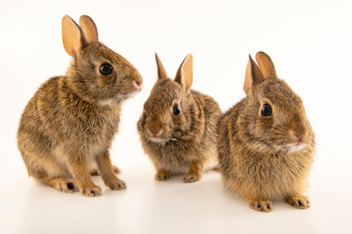 Photo: Three juvenile eastern cottontail rabbits (Sylvilagus floridanus) at the Carolina Wildlife Center, a place that rescues and rehabilitates injured and orphaned wildlife.