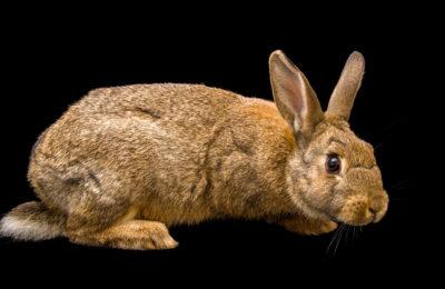 Photo: A European rabbit (Oryctolagus cuniculus) at Zoopark Zajezd.