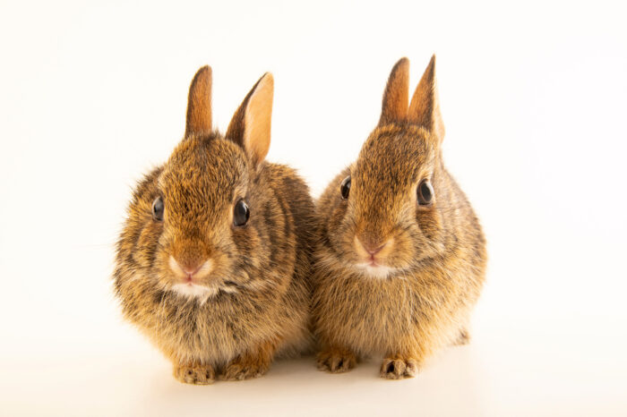 Photo: Juvenile eastern cottontail rabbits (Sylvilagus floridanus) at the Carolina Wildlife Center, a place that rescues and rehabilitates injured and orphaned wildlife.