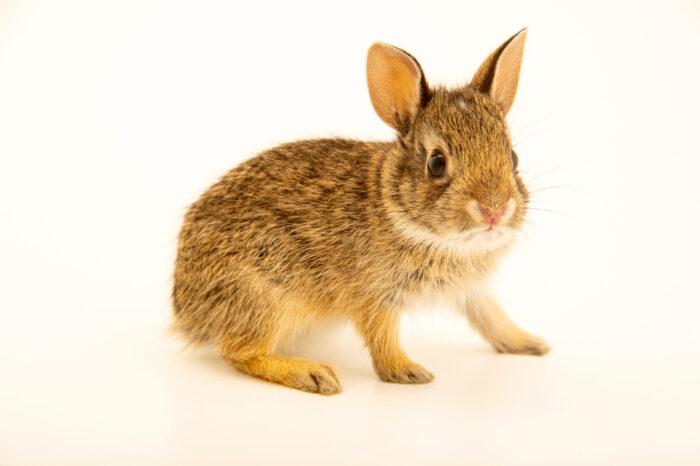 Photo: A juvenile Texas cottontail rabbit (Sylvilagus floridanus alacer) at Houston SPCA's Wildlife Center of Texas.
