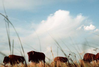 Photo: Bison at the Fort Niobrara NWR in Nebraska.