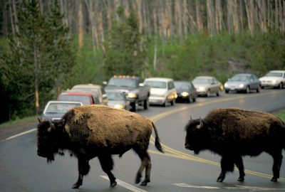 Photo: Traffic comes to a halt as bison cross a road in Yellowstone National Park.
